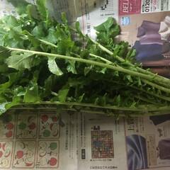 大根の葉っぱ/旬の食べ物/大根 おっきな大根、いただきましたー! 新鮮な…(1枚目)