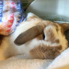 ホーランドロップ/ウサギ/うさぎ/おやすみショット ぽぷりだよ。