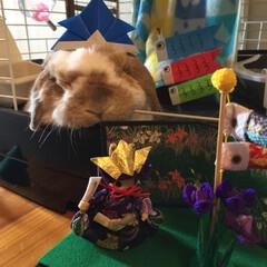端午の節句/子どもの日/ホーランドロップ/ウサギ/うさぎ ぽぷりだよ