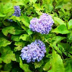 おでかけワンショット/植物の写真/植物のある暮らし/花のある暮らし/宇治/京都観光/... 三室戸寺へ ハート紫陽花は かわいいサイ…
