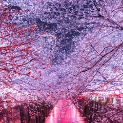 おでかけ/旅行/風景/春の一枚 目黒川沿の桜並木です。 超絶綺麗でした