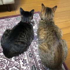 愛猫家/猫好き/猫耳/後頭部/後ろ姿/キジ白/... こまちとてつろー 体格差がすごい!! 猫…