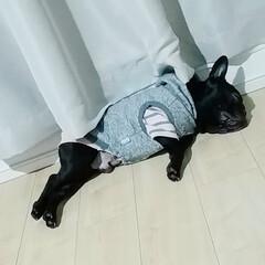 おやすみショット/フレンチブルドッグ/フレブル/鼻ぺちゃ/ぶひ/ぶさかわ うちあげられた小ブタ