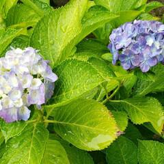 梅雨/紫陽花 雨の日の紫陽花っていいね!