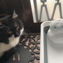 猫 今年初の雪だるま まったく興味がないよう…(1枚目)
