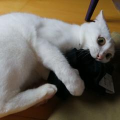 猫あるある/猫の餌食/白ねこ部/LIMIAペット同好会/にゃんこ同好会 買ったばかりの靴下が餌食に…ちーちゃん、…