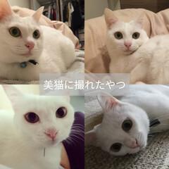 美猫/ぶさかわ/にゃんこ中毒/白猫/にゃんこ同好会 猫って人間と一緒で写り良いときと悪いとき…