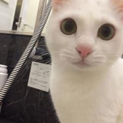 親ばか/ニャンコ同好会/猫好き/白猫/にゃんこ同好会/うちの子ベストショット お風呂覗きに来るけど水は嫌いにゃ