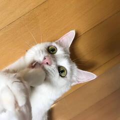 白ねこ部/白猫/おすまし/野生の名残/猫派/LIMIAペット同好会/... 野生からのおすまし❤️