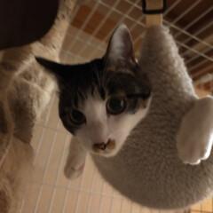 爪とぎ/猫のいる生活/破壊姫 今日のもみじ😺 お気に入りのハンモックで…