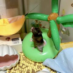 ハムスター ハウス 用 涼感 ひんやり おへや ベッド 貝殻(サークル、ケージ)を使ったクチコミ「アイランド🏝の上で仁王立ち🐭 🤣🤣🤣」