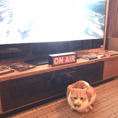 立ち耳スコ/スコティッシュフォールド立ち耳/スコティッシュフォールド/猫好き/LIMIAペット同好会/ペット/... 実家猫のぽんちゃん𓃠♡ . 立ち耳スコテ…