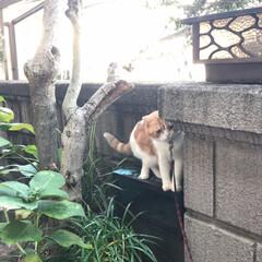 ニャルソック/スコティッシュフォールド立ち耳/立ち耳スコ/スコティッシュフォールド/猫好き/LIMIAペット同好会/... 実家猫のぽんちゃん🐈 . 玄関先でニャル…(2枚目)