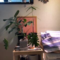観葉植物のある暮らし/観葉植物/生活の知恵/雑貨/インテリア/100均/... かわいい色画用紙を発見!なんだか気になっ…(1枚目)