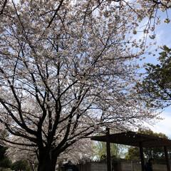 花見/春が来た/桜/平成最後の一枚/春のフォト投稿キャンペーン/LIMIAおでかけ部/... 昨日、とても良い天気の中、子供達と公園へ…