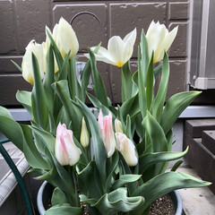 ガーデニング/春が来た/チューリップ/庭/フォロー大歓迎/春の一枚 春〜🌷 一気にチューリップが咲きました🙌…