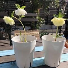 庭のある住まい/庭のある暮らし/ガーデン/クリスマスローズ/庭/お庭/... うちにはクリスマスローズが3つお庭に植え…
