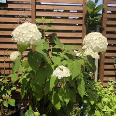 ガーデニング植物/ガーデニング/庭/雨季ウキフォト投稿キャンペーン/フォロー大歓迎/暮らし/... 先日切り花にして、家でも楽しんだアナベル…