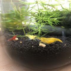 ボトルアクアリウム/水槽/住まい/暮らし/フォロー大歓迎 イエローシュリンプが抱卵(1番右の子です…