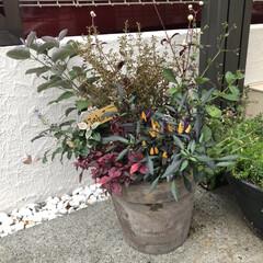 ハロウィン/寄せ植え/DIY/雑貨/ハンドメイド 玄関前の植木鉢、ハロウィンをイメージして…(1枚目)