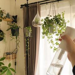 インドアグリーン/植物のある暮らし/植物/グリーン/おすすめグッズ/カインズホーム/... 我が家には、植物がたくさん🎵  我が家の…(1枚目)