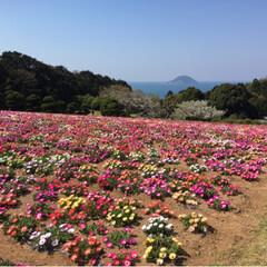 風景/お花畑/能古島/桜 能古島💕 べびちゃんとパパさんと⭐️ と…(3枚目)