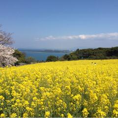 風景/お花畑/能古島/桜 能古島💕 べびちゃんとパパさんと⭐️ と…
