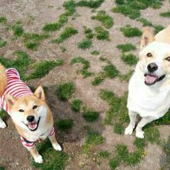 ドッグカフェ/柴犬/春のフォト投稿キャンペーン/ペット/犬/わたしのお気に入り 大好きなドッグカフェの看板犬ルークとつむぎ