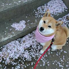 桜吹雪/春のフォト投稿キャンペーン/ペット/犬/わんこ同好会 🐕♥ 桜の花びら🌸