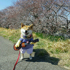 ペット/犬/わんこ同好会/春の一枚/柴犬/桜/... 🐕💨 お花見LIVE🎸☆♬