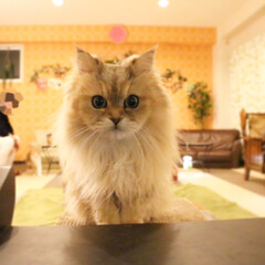 ペルシャ猫/ねこカフェなるあずき/猫カフェ/にゃんこ同好会/ねこカフェなる ぱっちりお目目💕