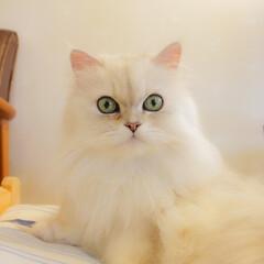 虹の橋/チンチラシルバー/ペルシャ猫/猫カフェ/ねこカフェなるララァ/おうちごはん/... 久しぶりにこちらに来ました。  8/23…