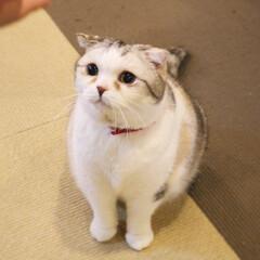 丸顔組合会長/丸顔組合/マシュマロボディ/スコティッシュフォールド/ねこカフェなるひまわり/猫カフェ/... おやつをもらうときは 究極に可愛い顔で♡笑