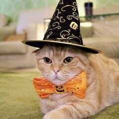 にゃんこ/ねこカフェなるちゃちゃ丸/ハロウィン/マンチカン/猫/猫カフェ/... ハロウィンちゃちゃ丸🎃  👻オレンジリボ…
