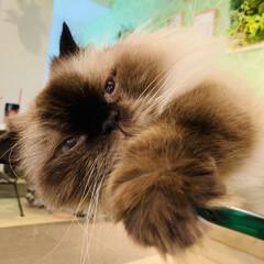 令和の夏/猫/トッポ/ねこカフェなるのトッポ/ヒマラヤン/猫カフェ/... 暑くなるとガラステーブルの上が混み合って…