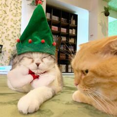 ねこ/猫カフェ/マシュマロボディ/クリスマスツリー/クリスマス/丸顔組合会長/... ツリー帽子🎄✨  もうすぐクリスマス✨