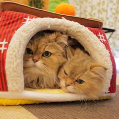 仲良しモード/猫カフェ/ペルシャ猫/チンチラファミリー/あずきもなか姉妹/ねこカフェなるもなか/... 仲良しモード発動💕  ぎゅうぎゅう詰め💕
