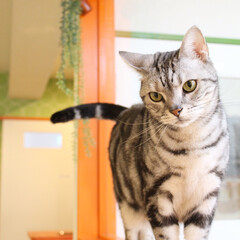 LINELIVE生配信/LINELIVE/オンライン猫カフェ/ねこカフェなるオレオ/アメリカンショートヘア/猫カフェ/... 窓際のオレオ🐾  4/17より店頭は休業…