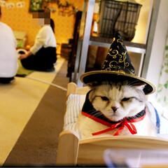 丸顔組合/猫/スコティッシュフォールド/ねこカフェなるひまわり/猫カフェ/ハロウィン/... ひまわりハロウィン🎃✨  まったりとお休…
