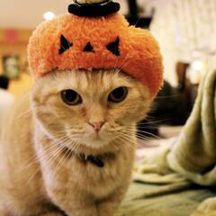 猫/ハロウィン/にゃんこ/マンチカン/ねこカフェなるちゃちゃ丸/猫カフェ/... ちゃかぼちゃ🎃  違和感なし。笑