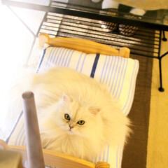 おニューの加湿器/ファビュラス/にゃんこ同好会/猫カフェ/ペルシャ猫/ねこカフェなるララァ/... 加湿器でしっとり💕