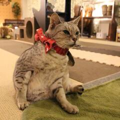 猫カフェ/にゃんこ同好会/オシキャット/ねこカフェなるあんず/ねこカフェなる あんずちゃんおめかし🎀✨
