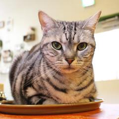 猫転送装置/オレオ営業部長/アメリカンショートヘアシルバータビー/アメリカンショートヘアー/ねこカフェなるオレオ/猫カフェ/... ちょっとカウンターに置いたトレー。  オ…
