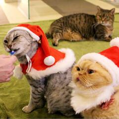 クリスマス/オシキャット/エキゾチックショートヘアー/ねこカフェなるちまき/ねこカフェなるあんず/猫カフェ/... メリークリスニャス✨  🎄サンタガールた…