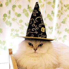 ハロウィン/チンチラシルバー/ペルシャ猫/ねこカフェなるララァ/にゃんこ/猫/... 異常に似合うララァ様🧙♀️✨  超強い…