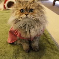 もな神様/毛玉女子/ペルシャ猫/猫カフェ/ねこカフェなるもなか/ねこカフェなる お洋服お似合い女子✨