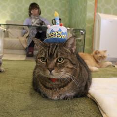 1月27日生まれ/お誕生日/猫カフェ/ねこスタッフ/にゃんこ同好会/丸顔組合/... 1/27に11歳になりました✨  つくね…