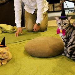 猫カフェ/ねこカフェなるオレオ/アメリカンショートヘア/ハロウィン/にゃんこ同好会/エキゾチックショートヘア/... お揃いとんがり帽子✨