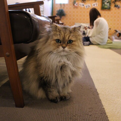 チンチラゴールデン/ペルシャ猫/あずきもなか姉妹/ねこカフェなるもなか/にゃんこ同好会/猫カフェ/... ちょこーん。