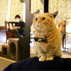 マンチカン/ねこカフェなるちゃちゃ丸/猫カフェ/ねこカフェなる/クリスマス2019/丸顔組合/... ちゃちゃ丸 「う〜ん。カウンター遠いな〜…